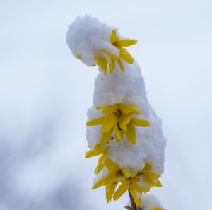 Forsythia with snow by Jock